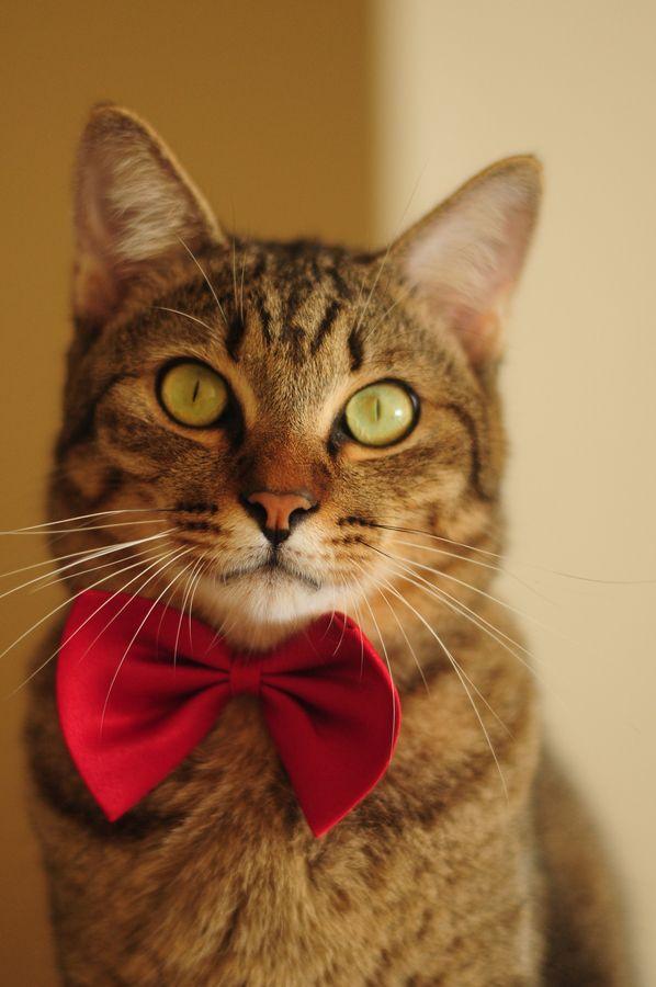 Chr. Cat bow tie